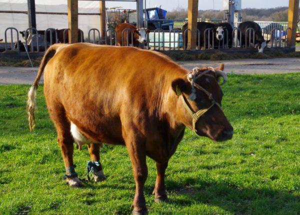 Zaterdag 25 maart 14.00 u. gaan de koeien naar buiten